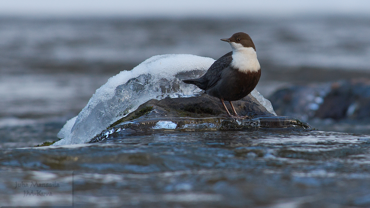 white throated dipper author manssila juha whi