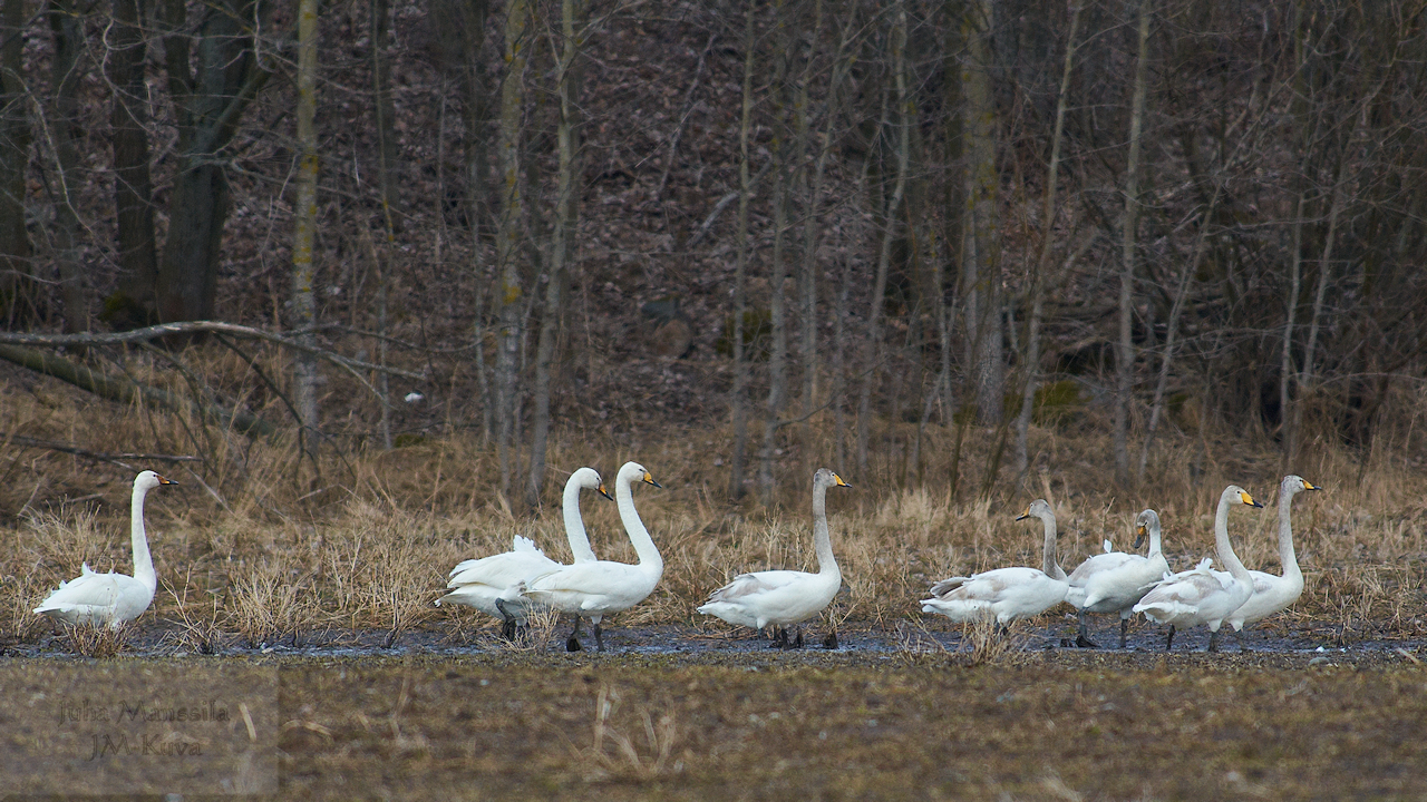 whooper swans author manssila juha