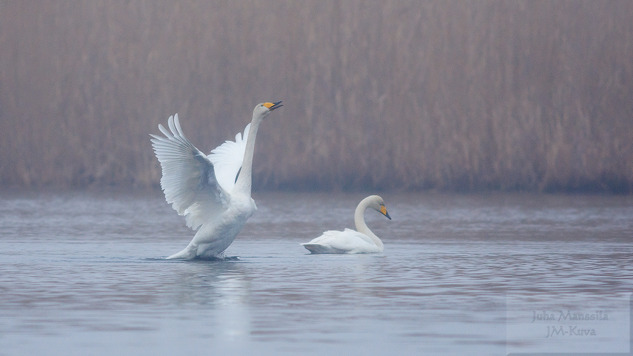 whooper swan author manssila juha swans