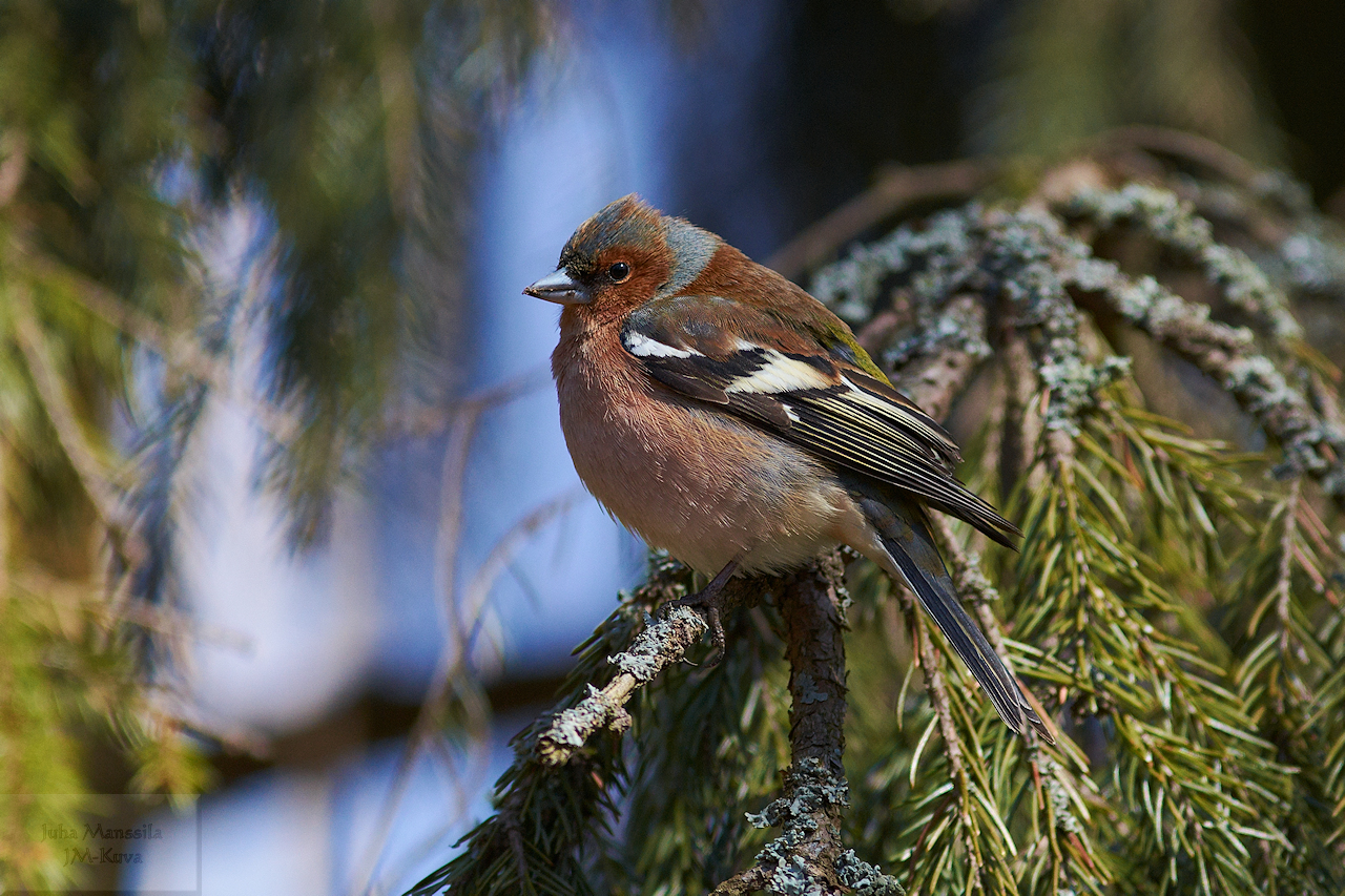 common chaffinch author manssila juha cha