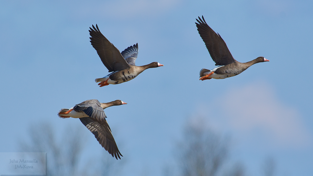 greater white fronted goose author manssila juha
