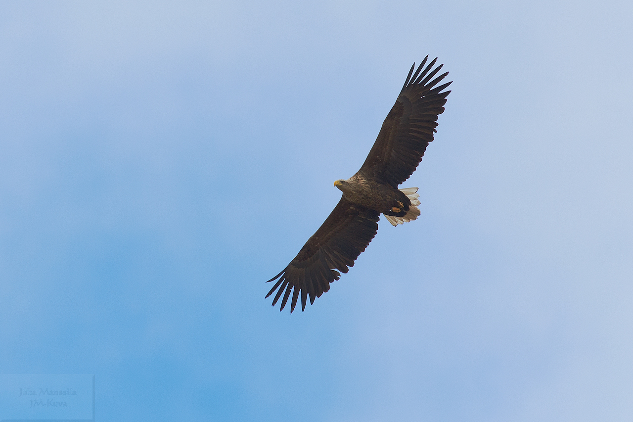 white tailed eagle author manssila juha ta