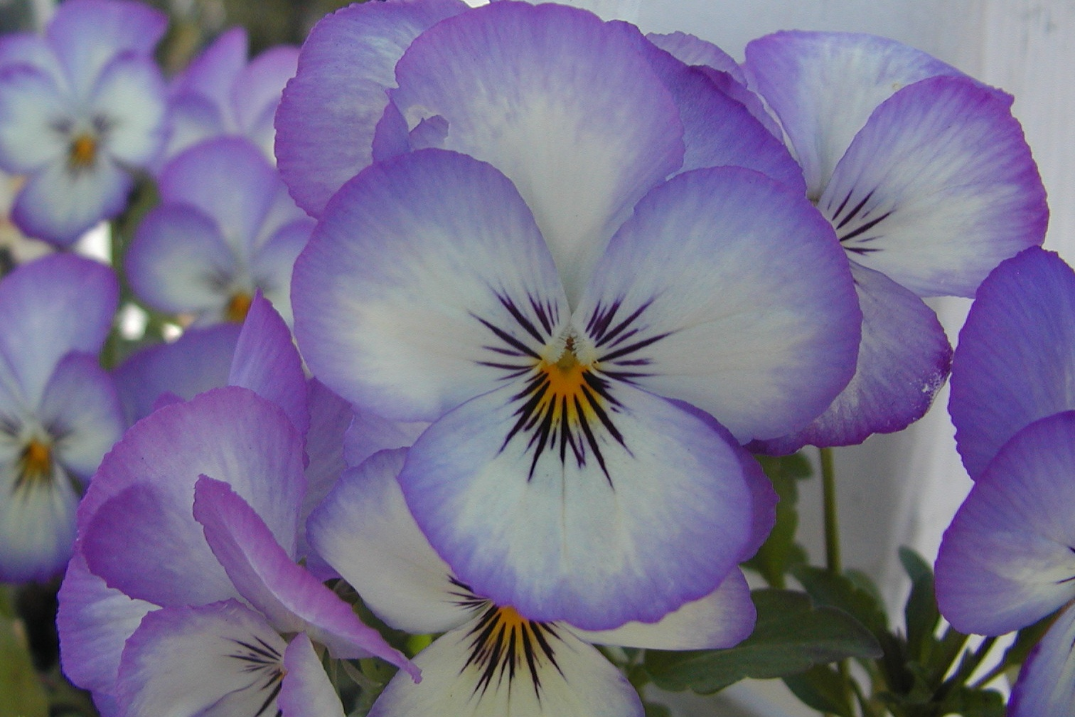pansy author lucke charlie