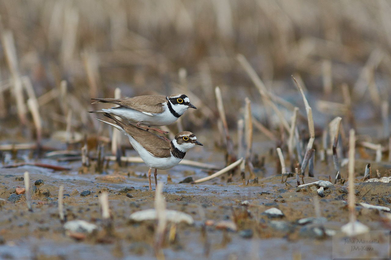 little ringed plover author manssila juha
