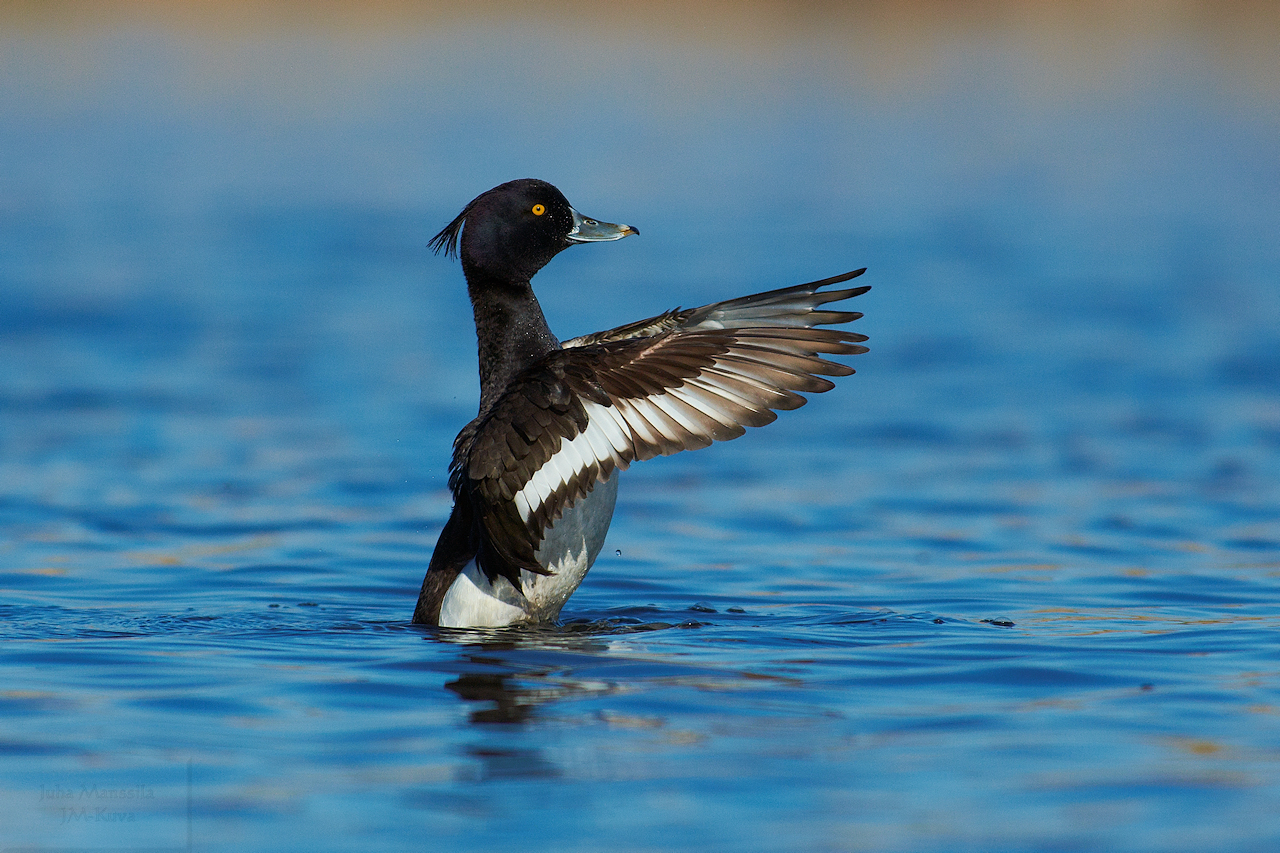 tufted duck author manssila juha ayt