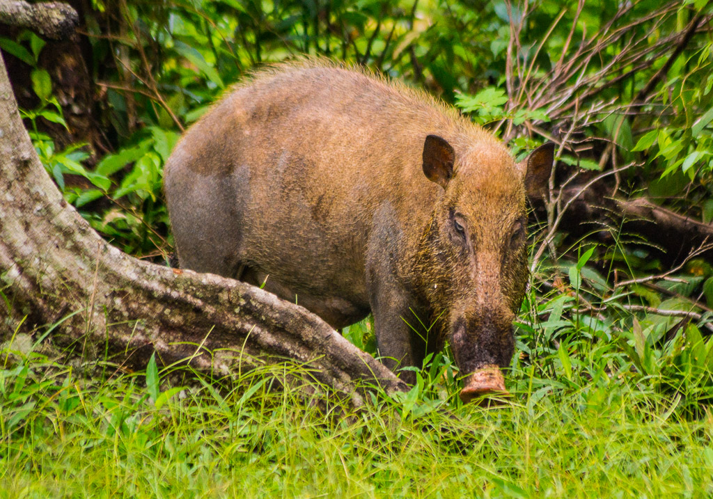 wild indonesian boar author downs jim