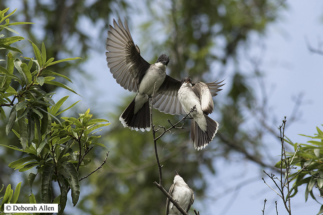 eastern kingbird family author allen deborah eas
