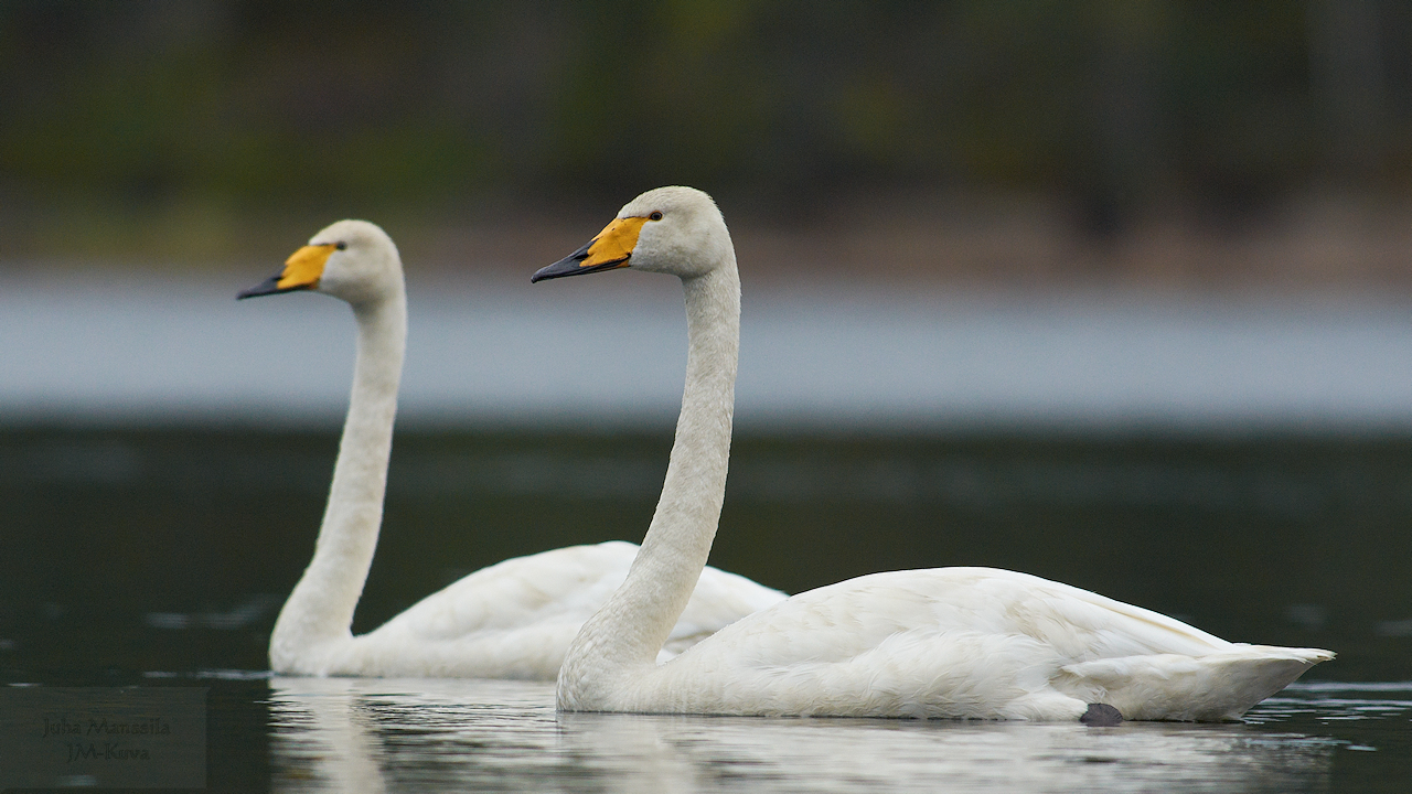 whooper swan author manssila juha c