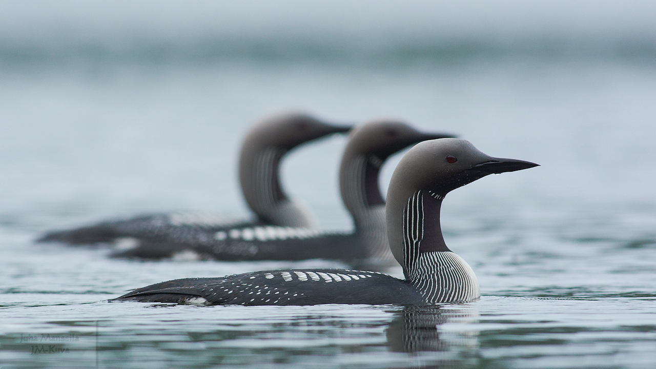 black throated loon author manssila juha t