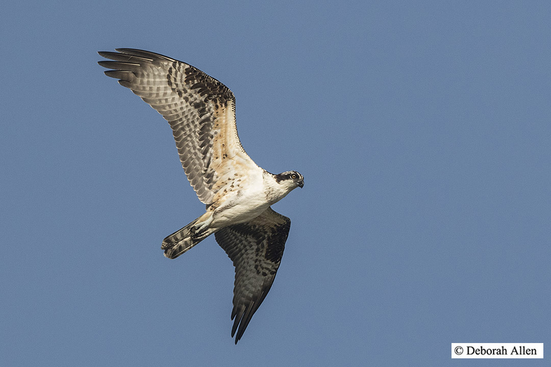 juvenile osprey in flight author allen deborah j
