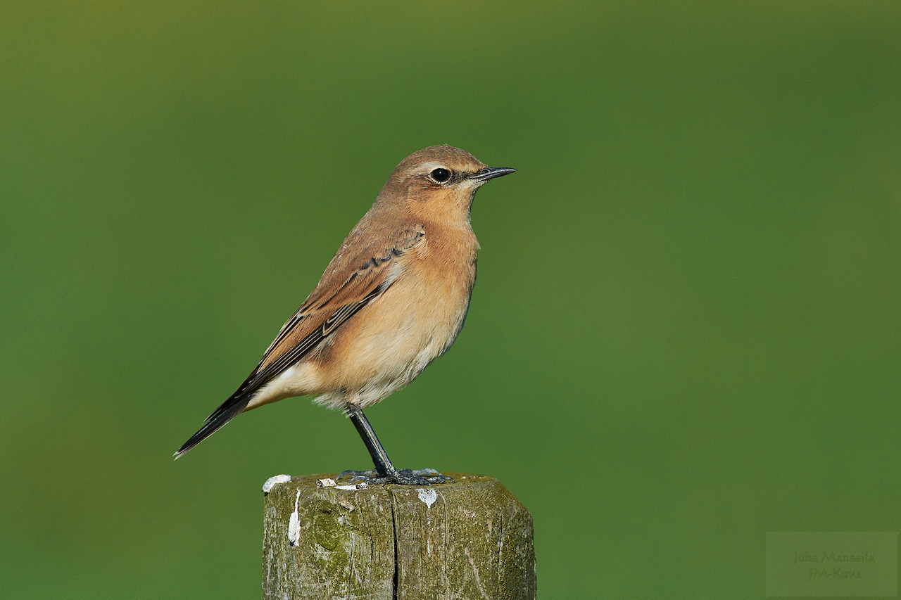 northern wheatear author manssila juha