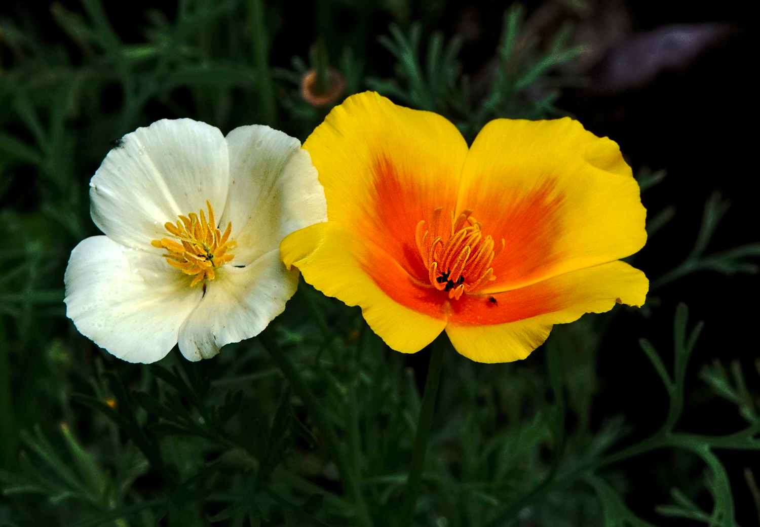 california poppies author sava gregory and verena