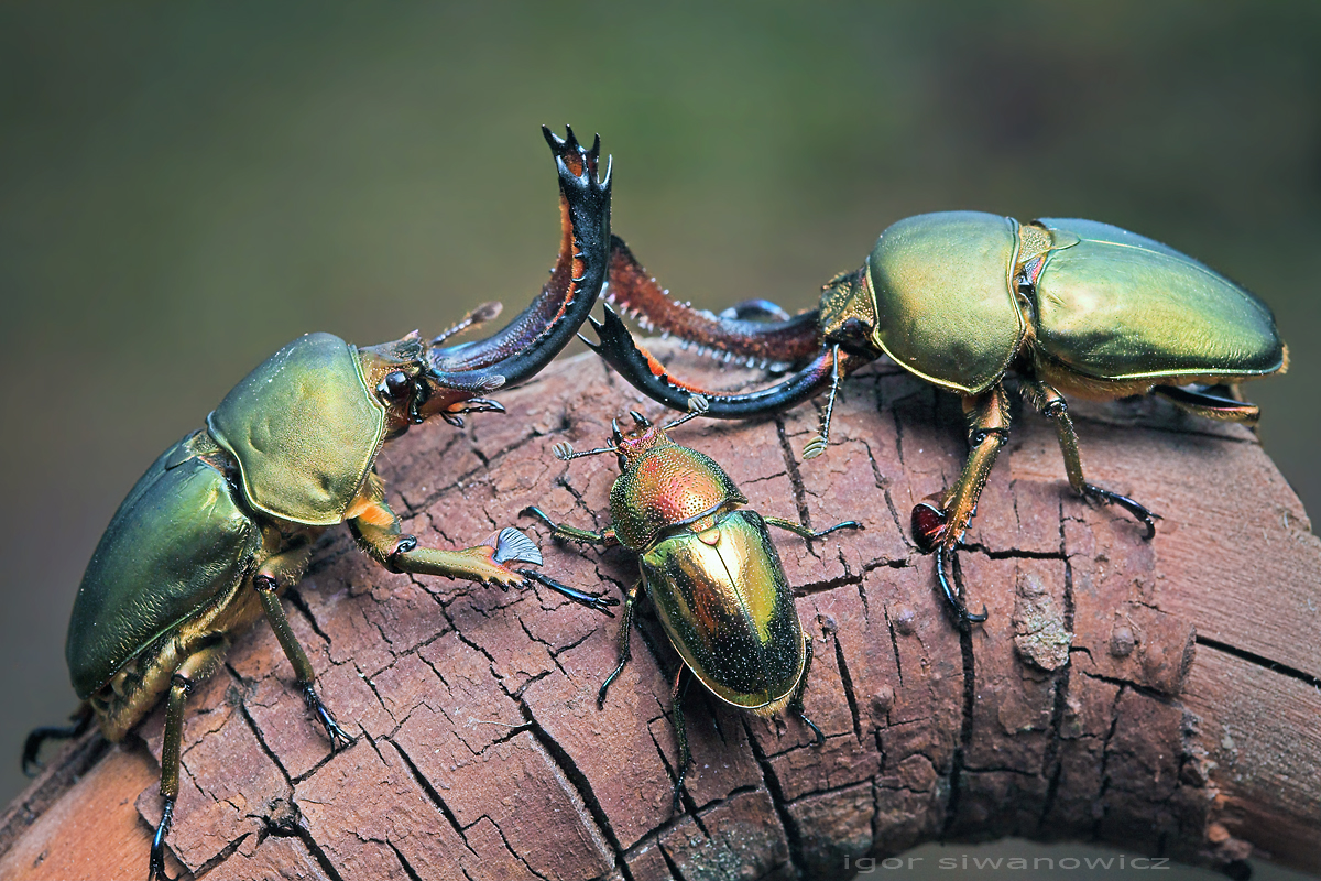 lamprima adolphine stag beetles from west papua a siwanowicz igor