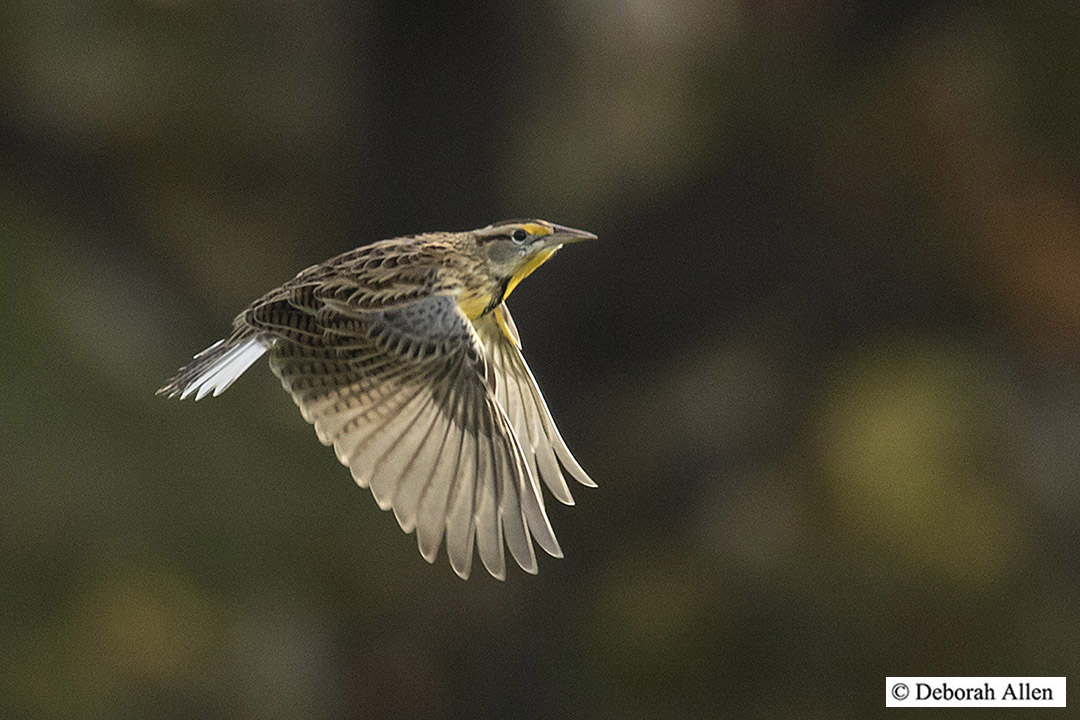 eastern meadowlark in flight author allen deborah