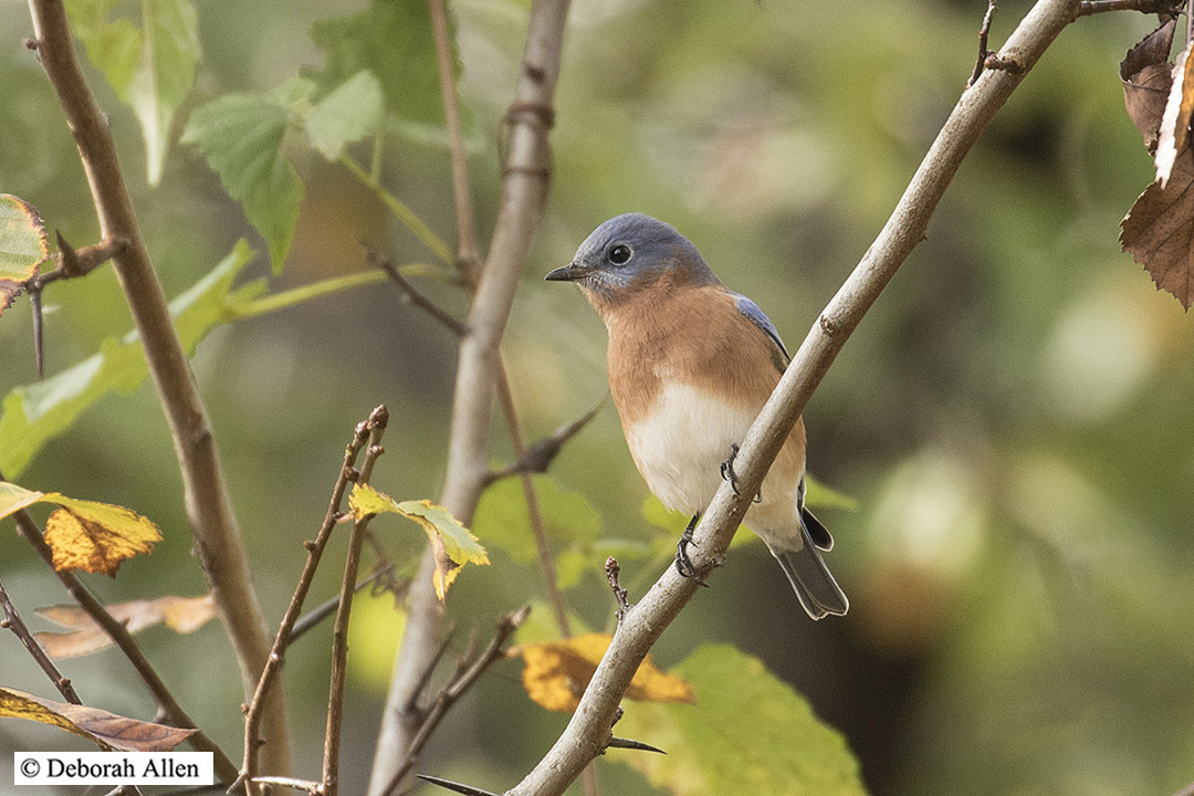 hatch year male eastern bluebird author allen deb deborah