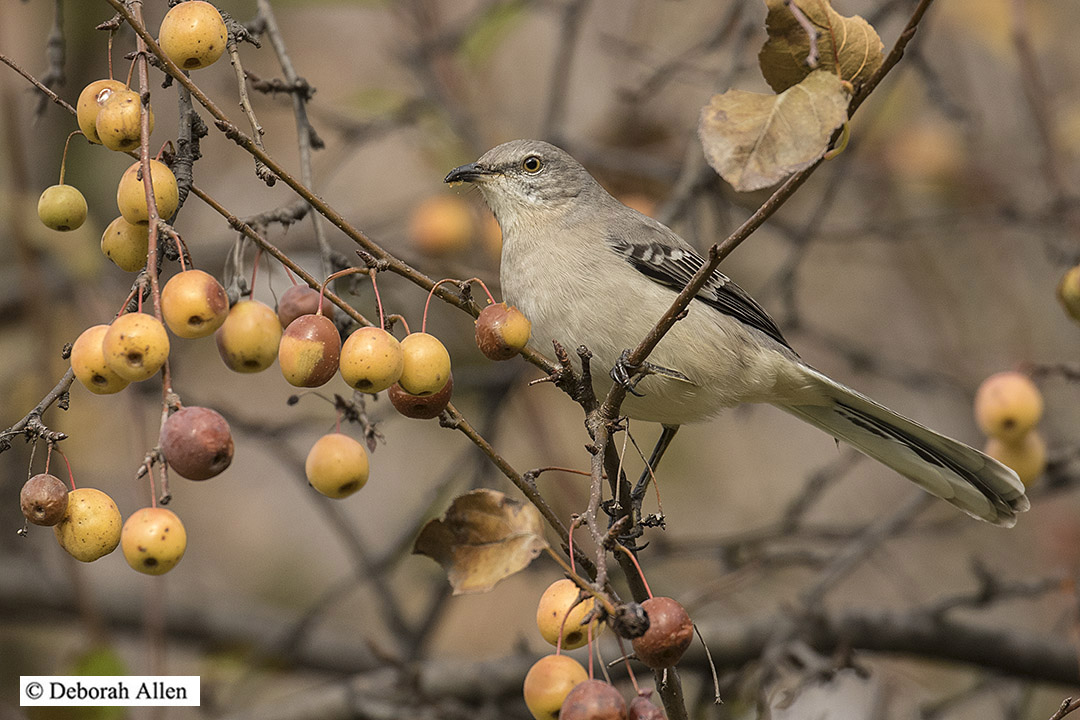northern mockingbird in crab apple author allen d deborah