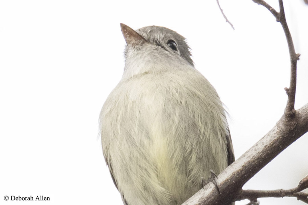 empidonax flycatcher author allen deborah empido