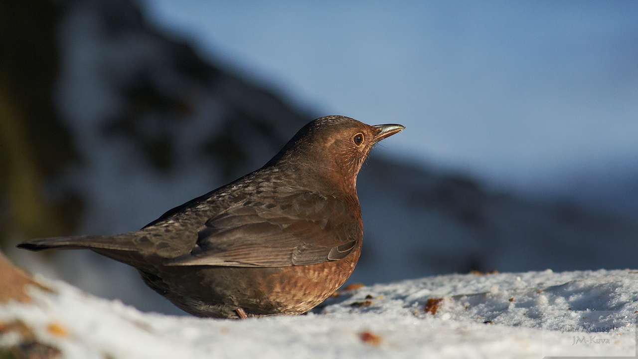 eurasian blackbird author manssila juha