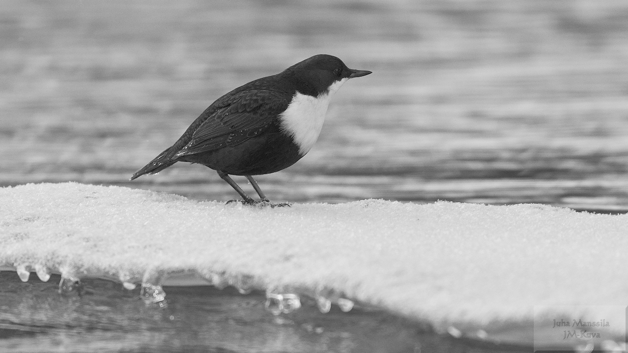 white throated dipper author manssila juha