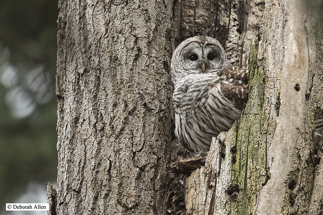 barred owl at nest author allen deborah o