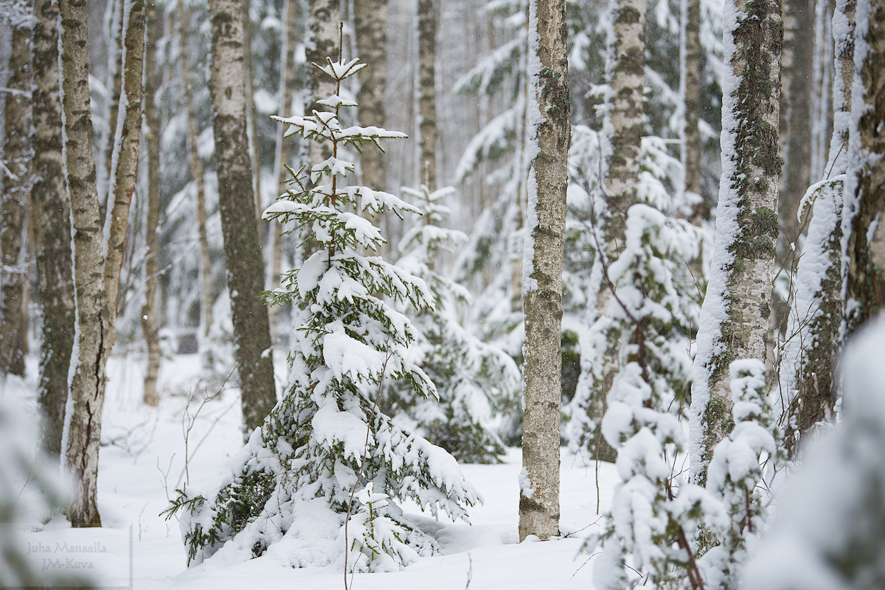 winter forest author manssila juha small nature