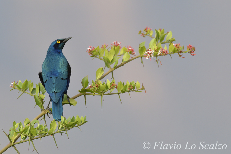 greater blue eared starling lamprotornis chalyba lo scalzo flavio