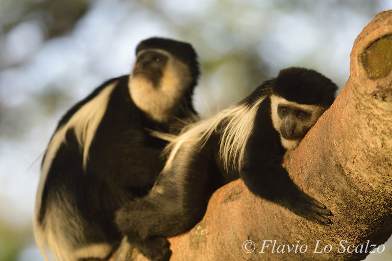 mantled guereza colobus author lo scal scalzo flavio
