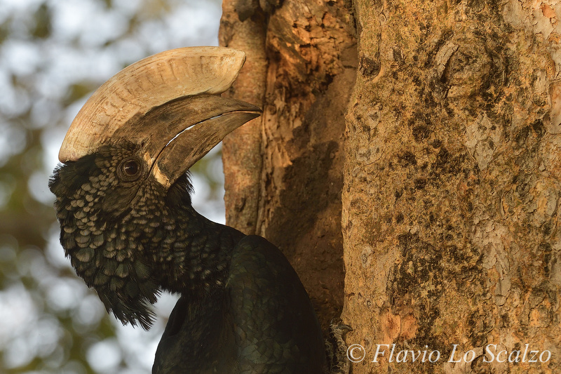 silvery cheeked hornbill bycanistes brevis aut lo scalzo flavio