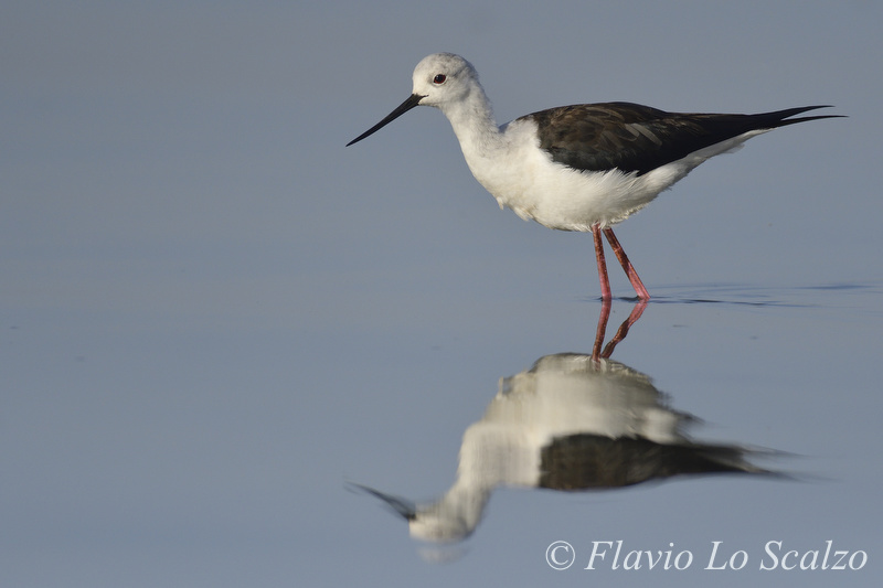 black winged stilt himantopus autho lo scalzo flavio