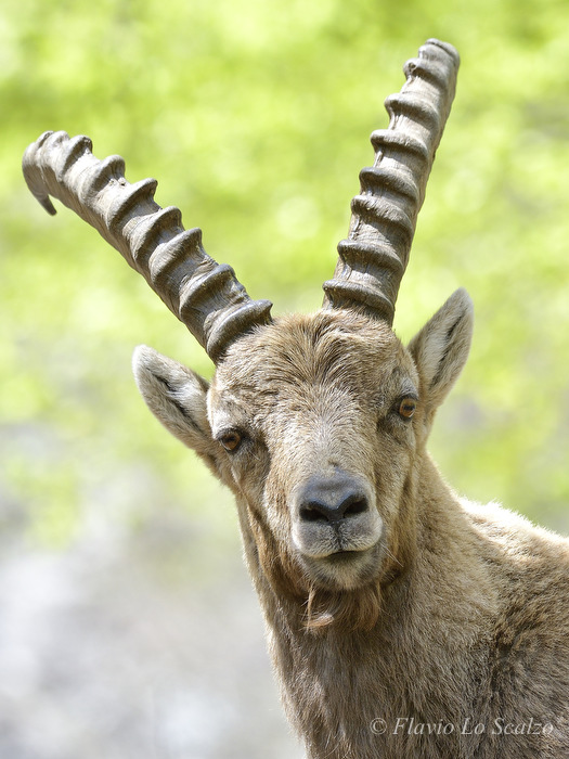 alpine ibex capra author lo scalzo flavio