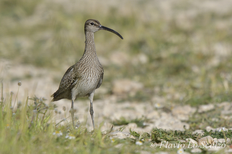 whimbrel numenius phaeopus author lo scalzo flav flavio