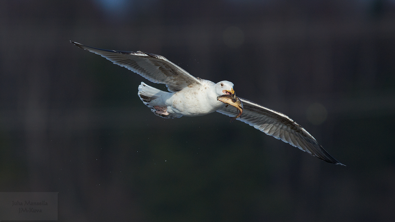 great black backed gull author manssila juha gre