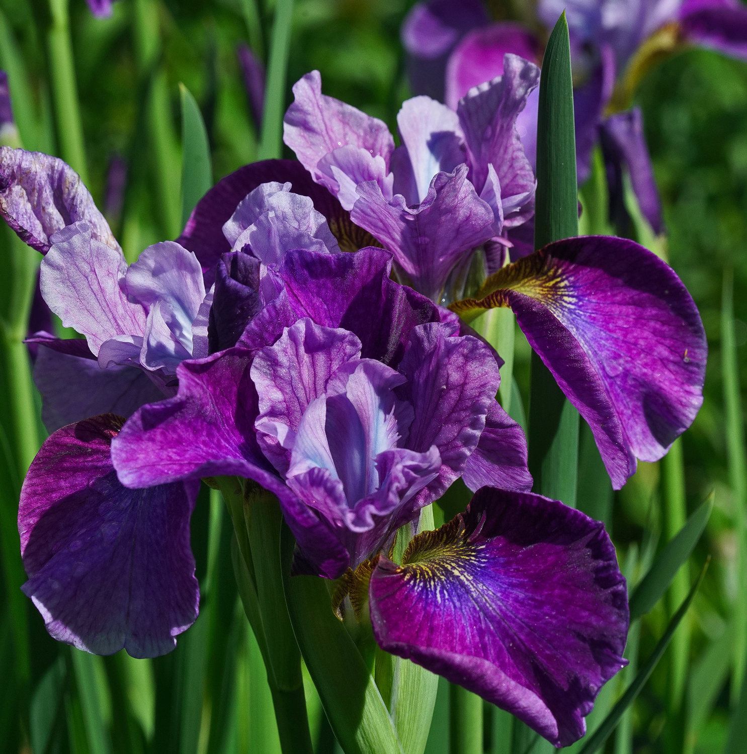 iris delight author sava gregory and verena than