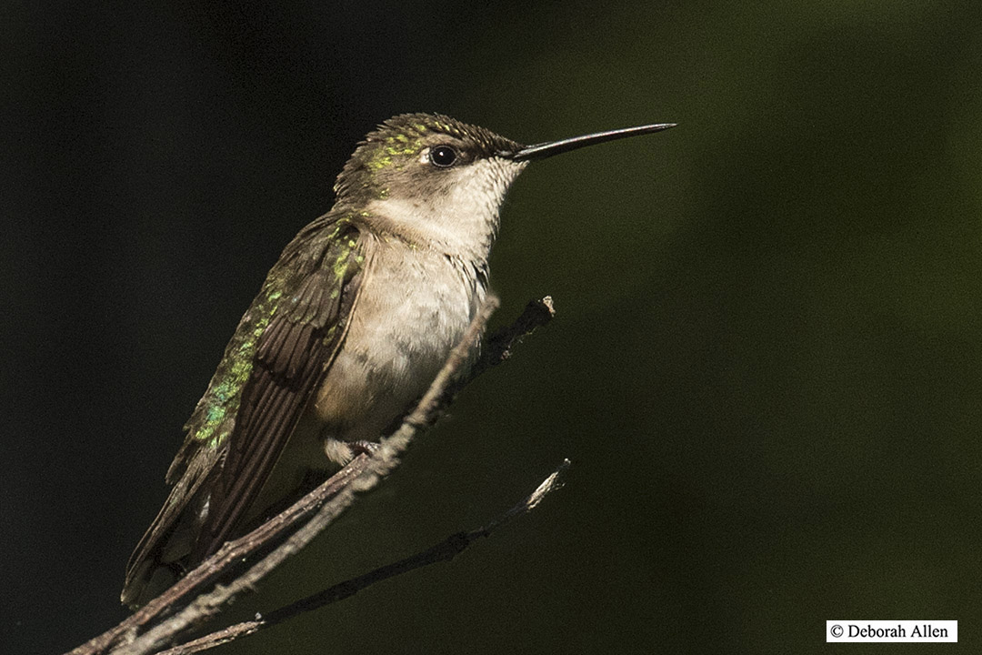 female ruby throated hummingbird author allen deb deborah