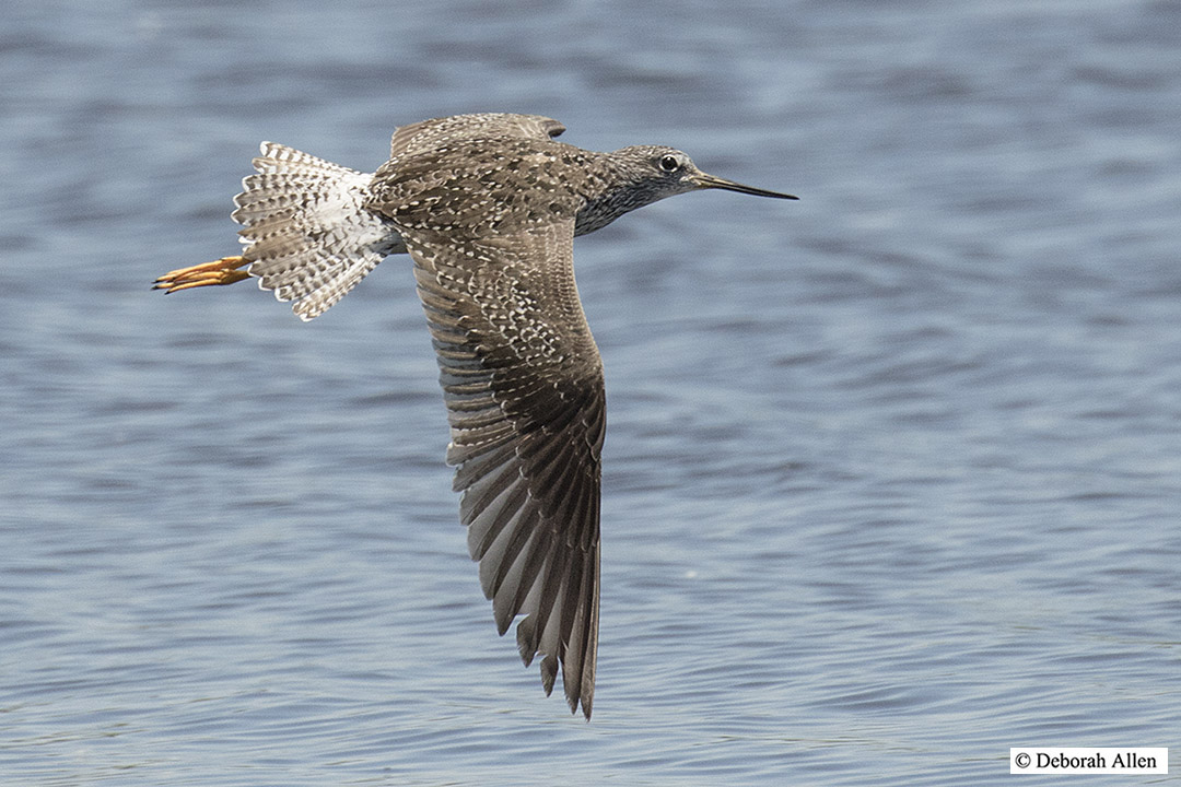 first summer greater yellowlegs in flight author allen deborah
