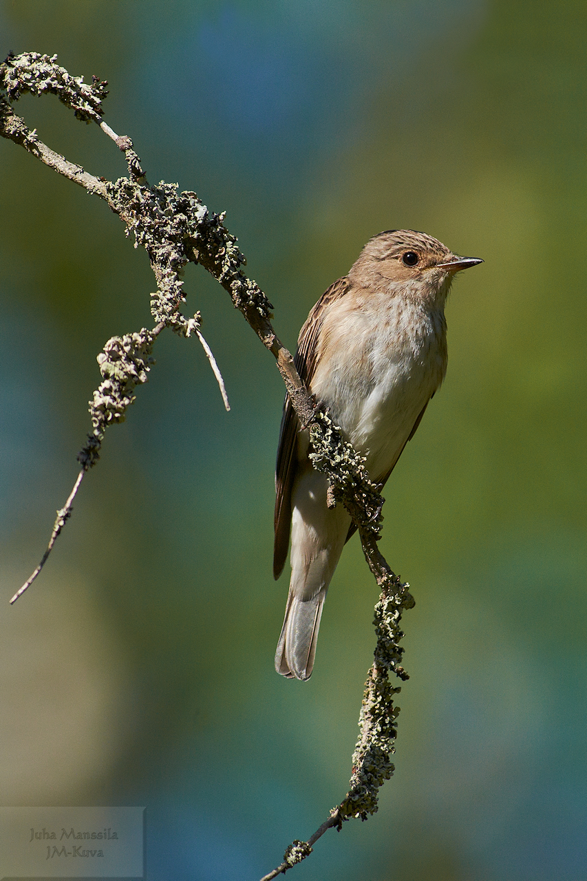 the spotted flycatcher author manssila juha