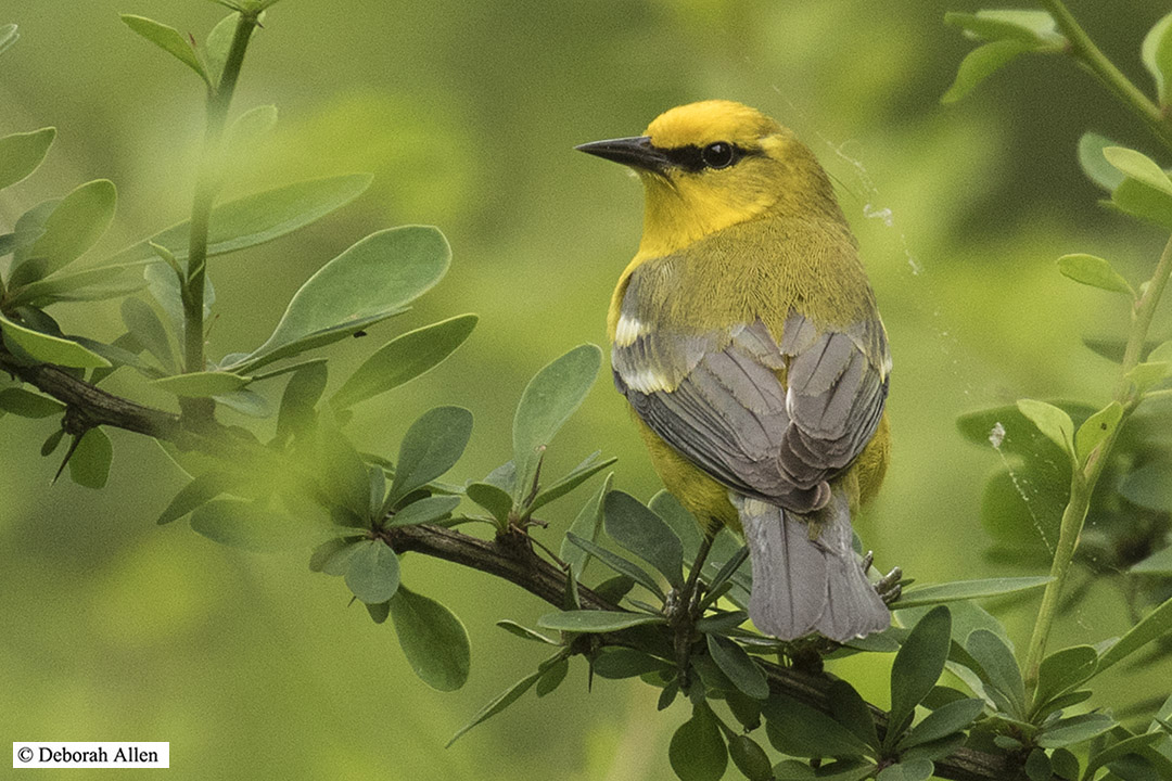 male blue winged warbler author allen deborah ma