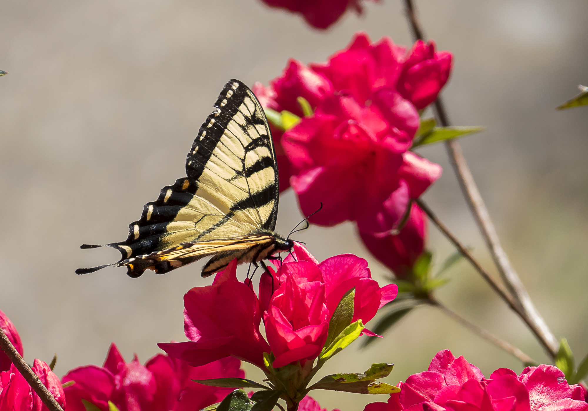 yellow swallowtail butterfly and azaleas author y yin tom