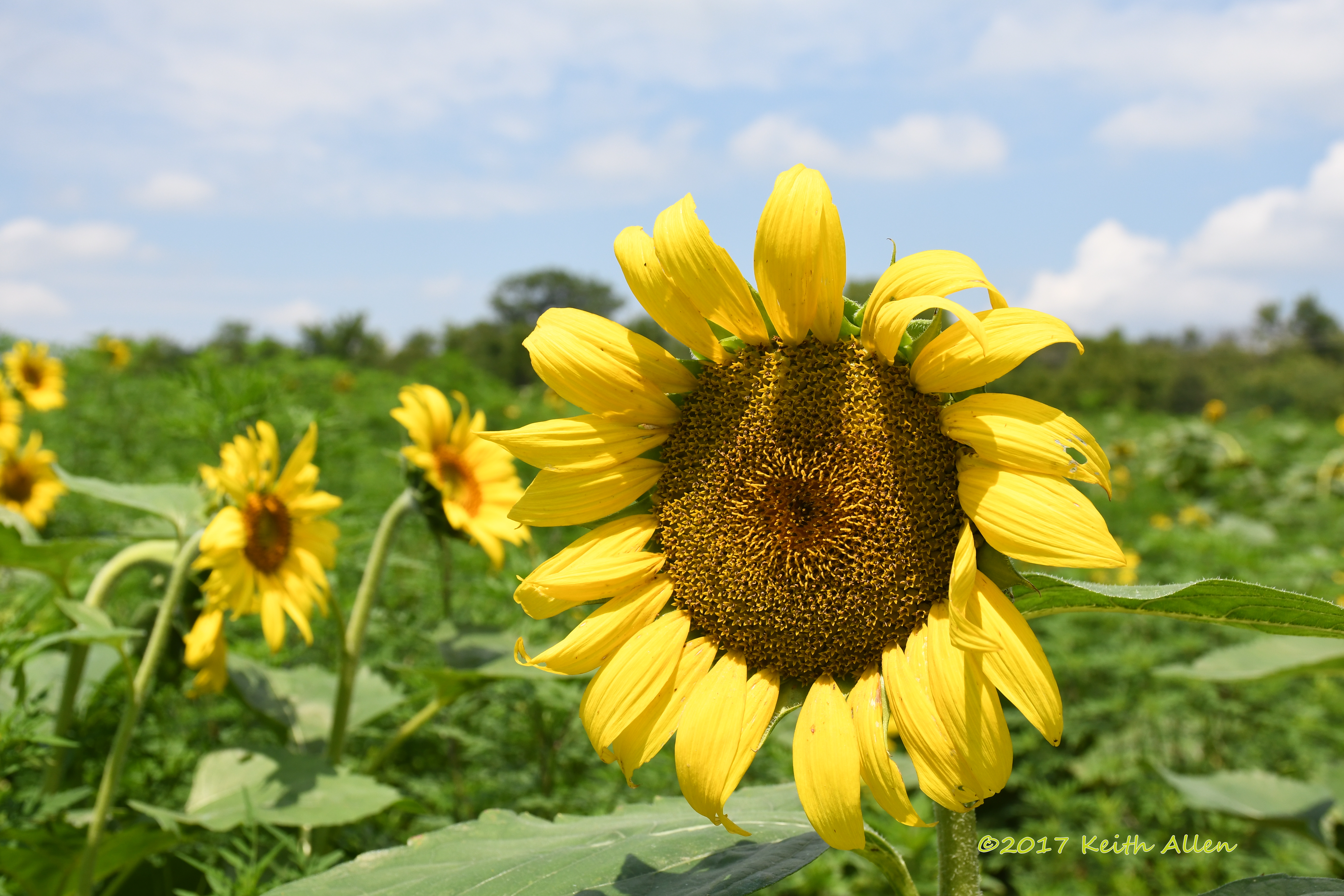 sunflowers in a field author allen keith sunflow