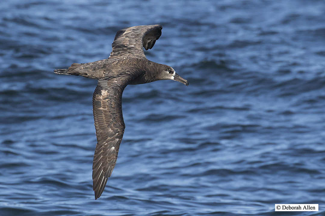 black footed albatross in flight author allen deb deborah