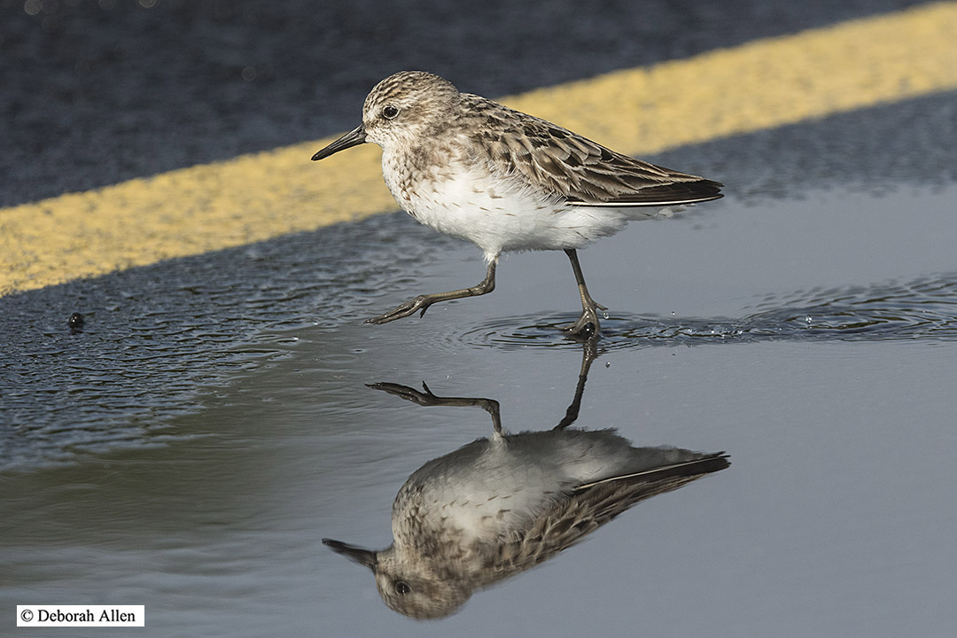 adult semipalmated sandpiper author allen deborah