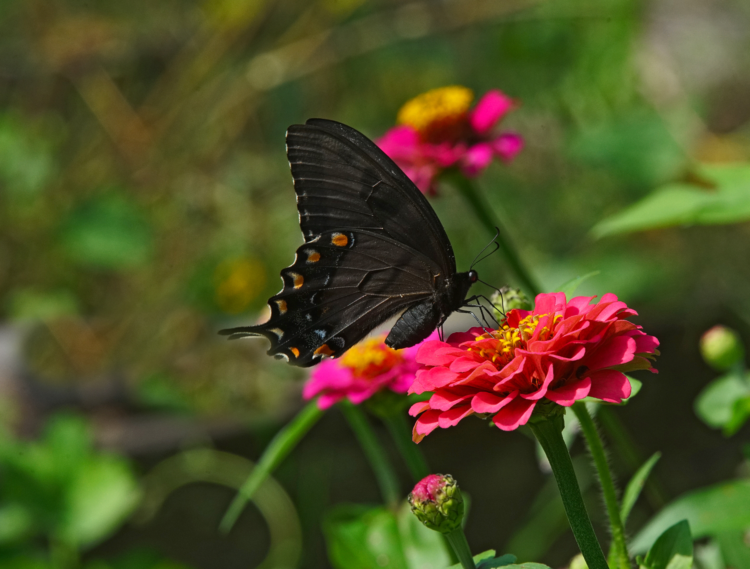 black swallowtail and zinnia lunch author sava gr gregory verena