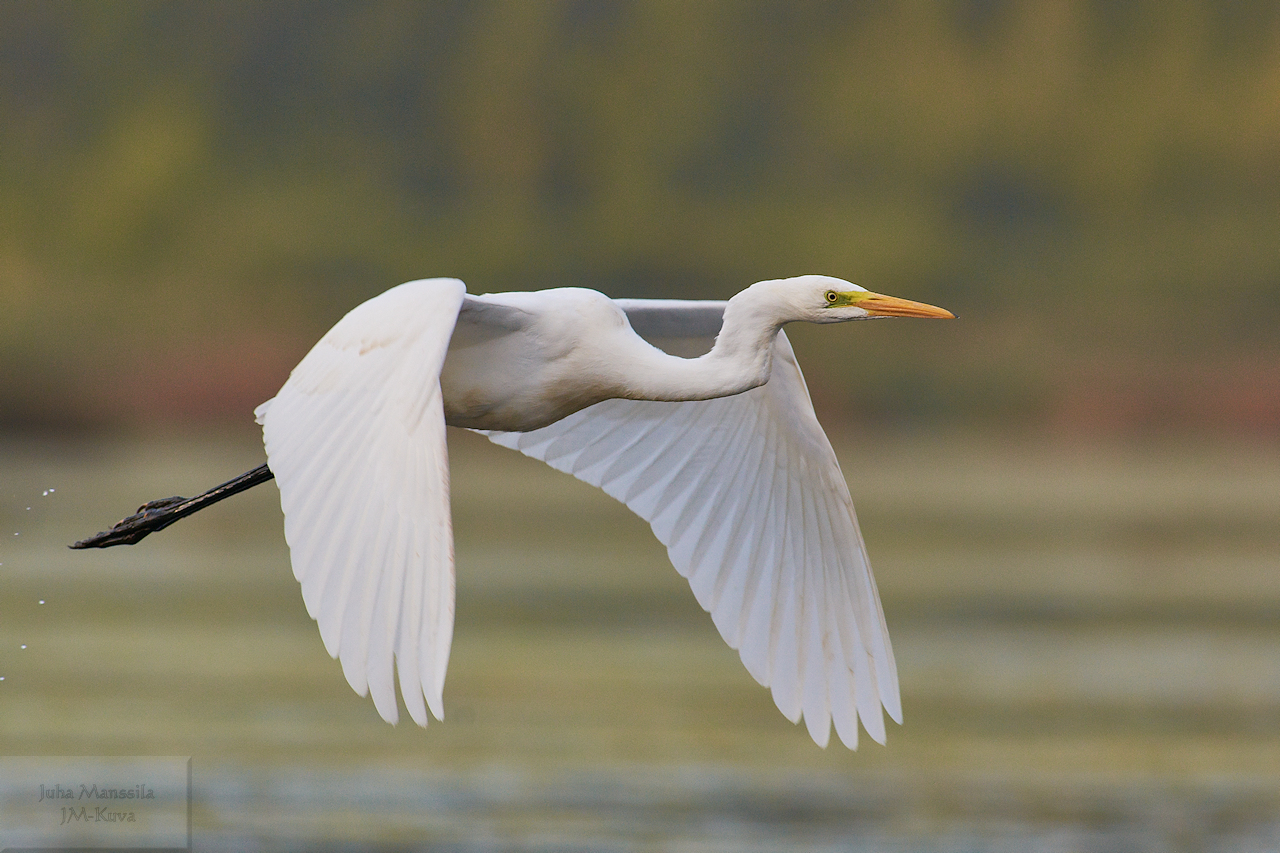 the great egret author manssila juha e