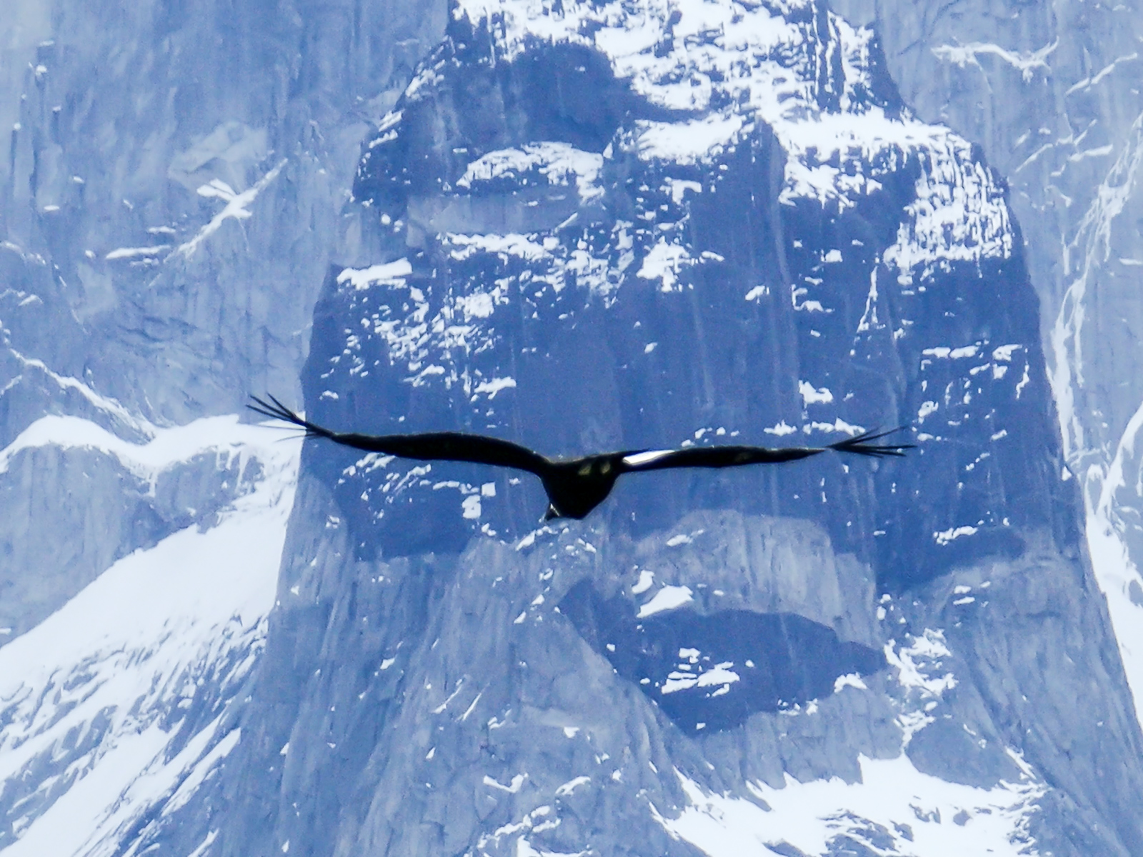 condor soaring against the andes author yin tom