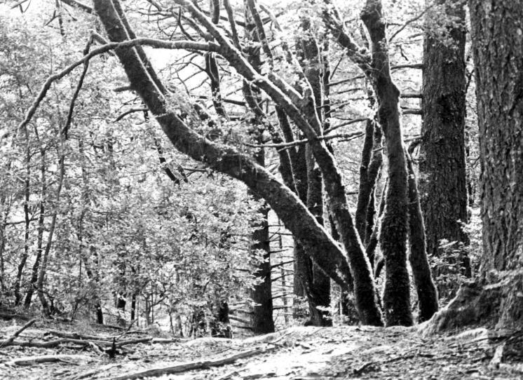 trees at muir woods author fricke tobin