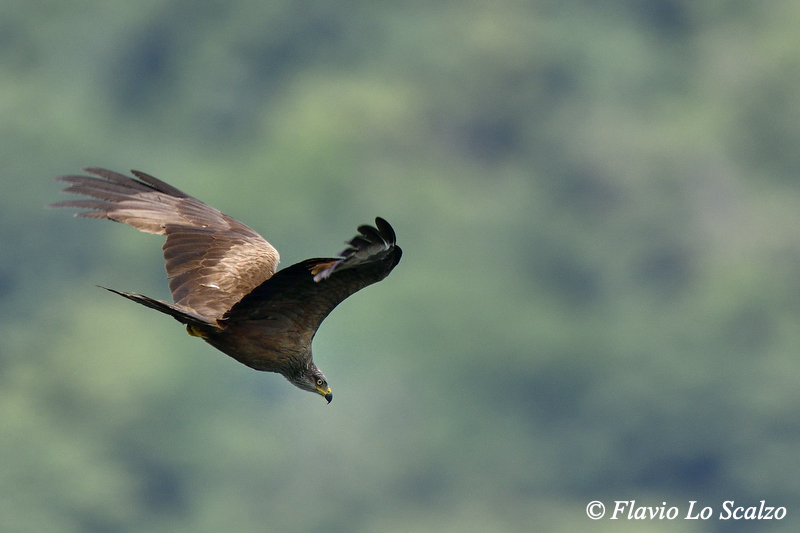 black kite milvus migrans author lo scalzo flavi flavio