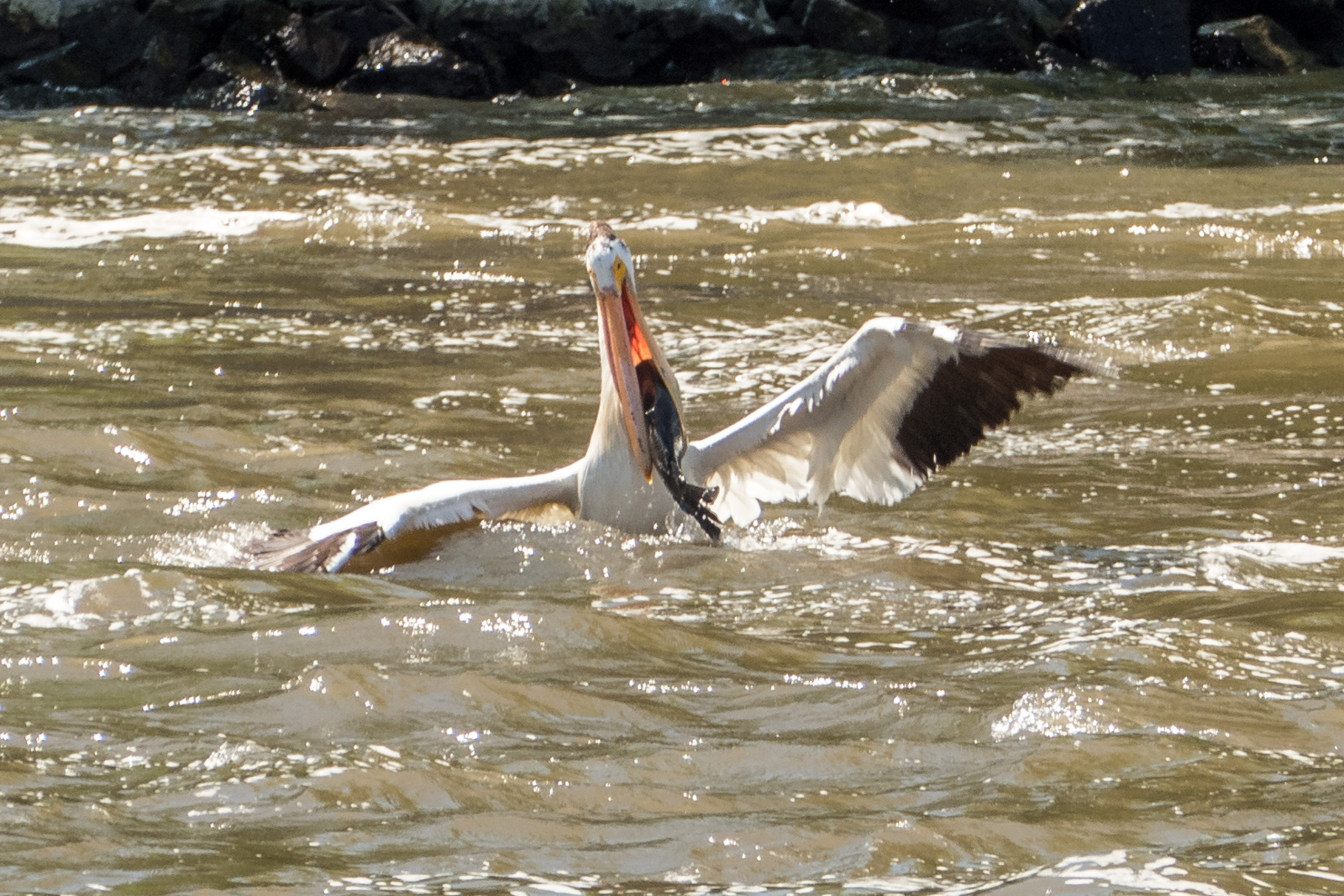 pelican struggling to swallow a large fish author yin tom