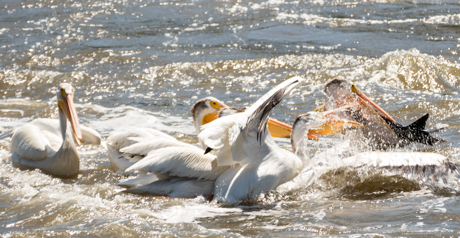 pelican with large fish attracts a crowd author y yin tom