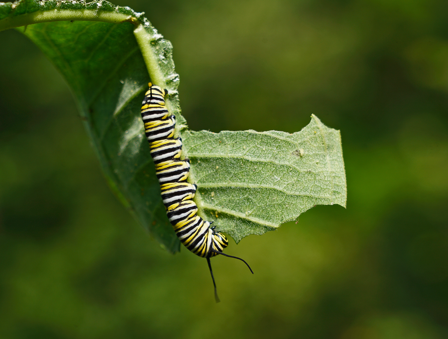 monarch to be munching down author sava gregory a and verena