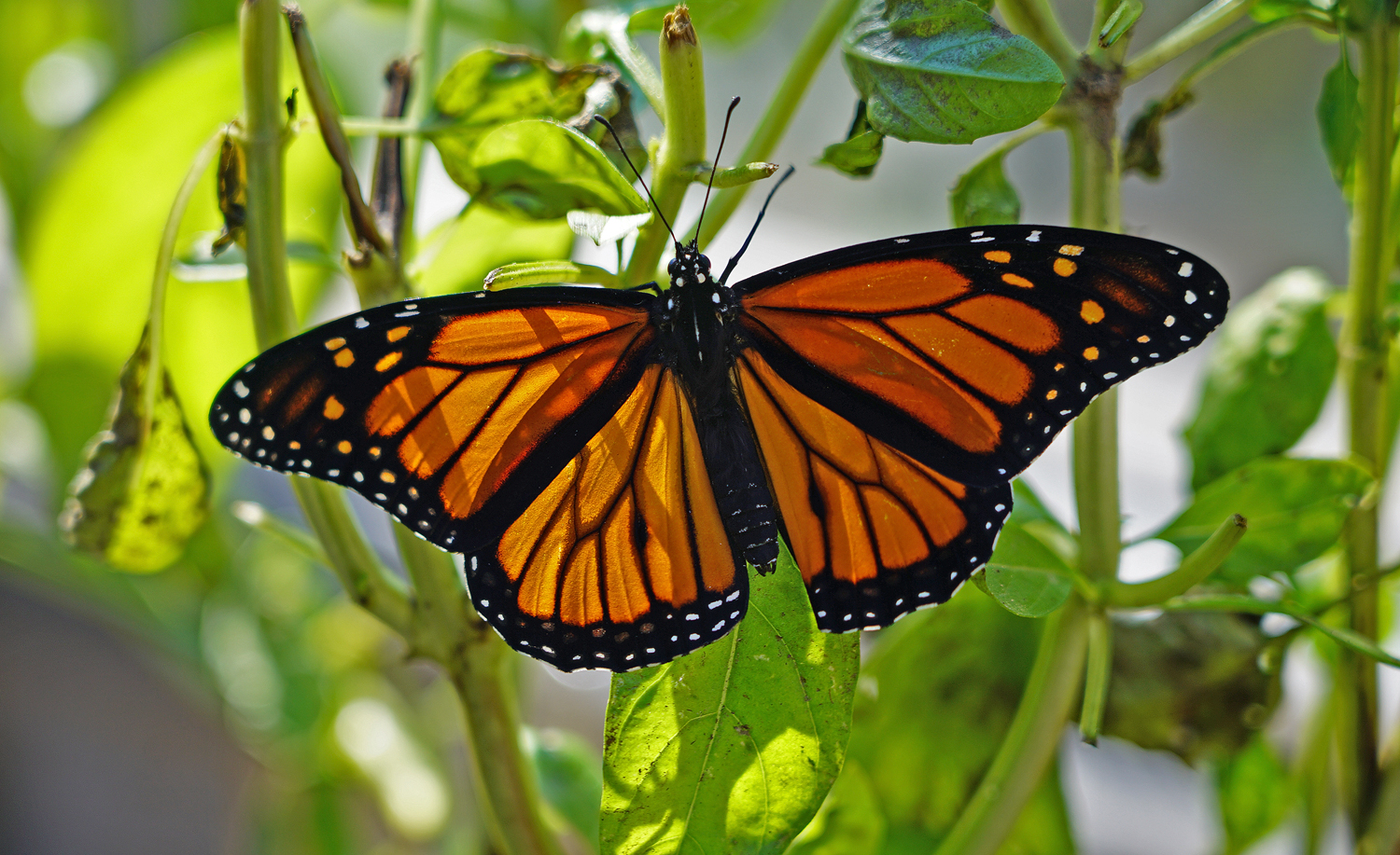 greenhouse hatched monarch author sava gregory an and verena